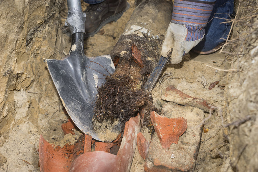 Man crouching in trench with shovel showing an old terracotta sewer line broken open to reveal a solid tube of invasive tree roots.