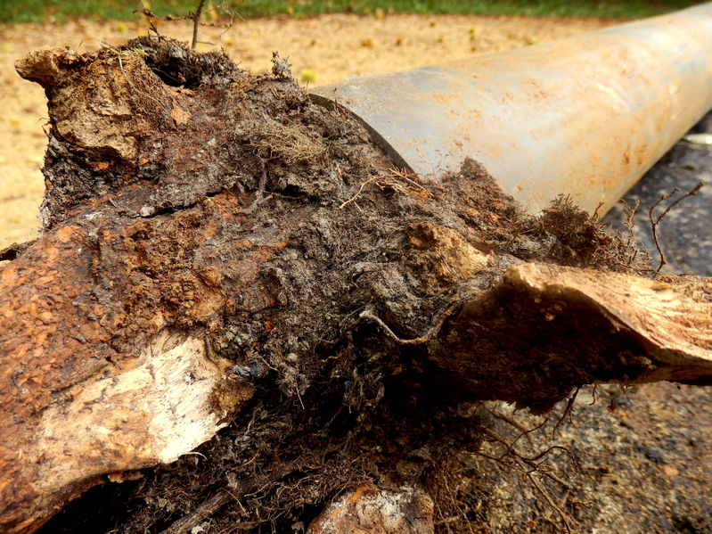 65943292 - blocked drainage pipe caused by ingress of tree roots